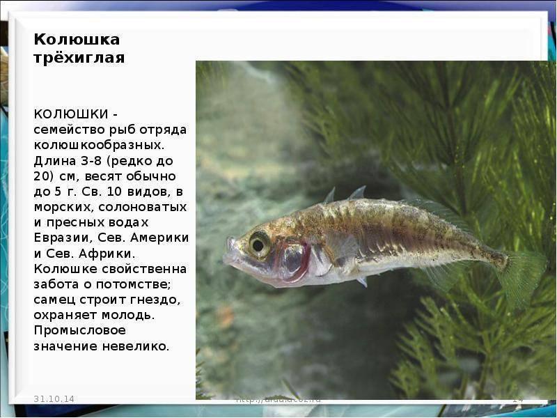 Знаменитая рыба колюшка: описание и среда обитания