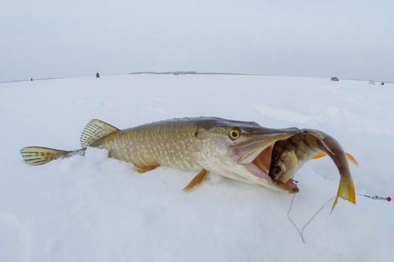 Как ловить налима зимой на жерлицы