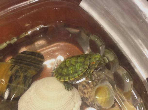 Сколько может не есть черепаха (красноухая и сухопутная), как долго они проживут без еды в домашних условиях