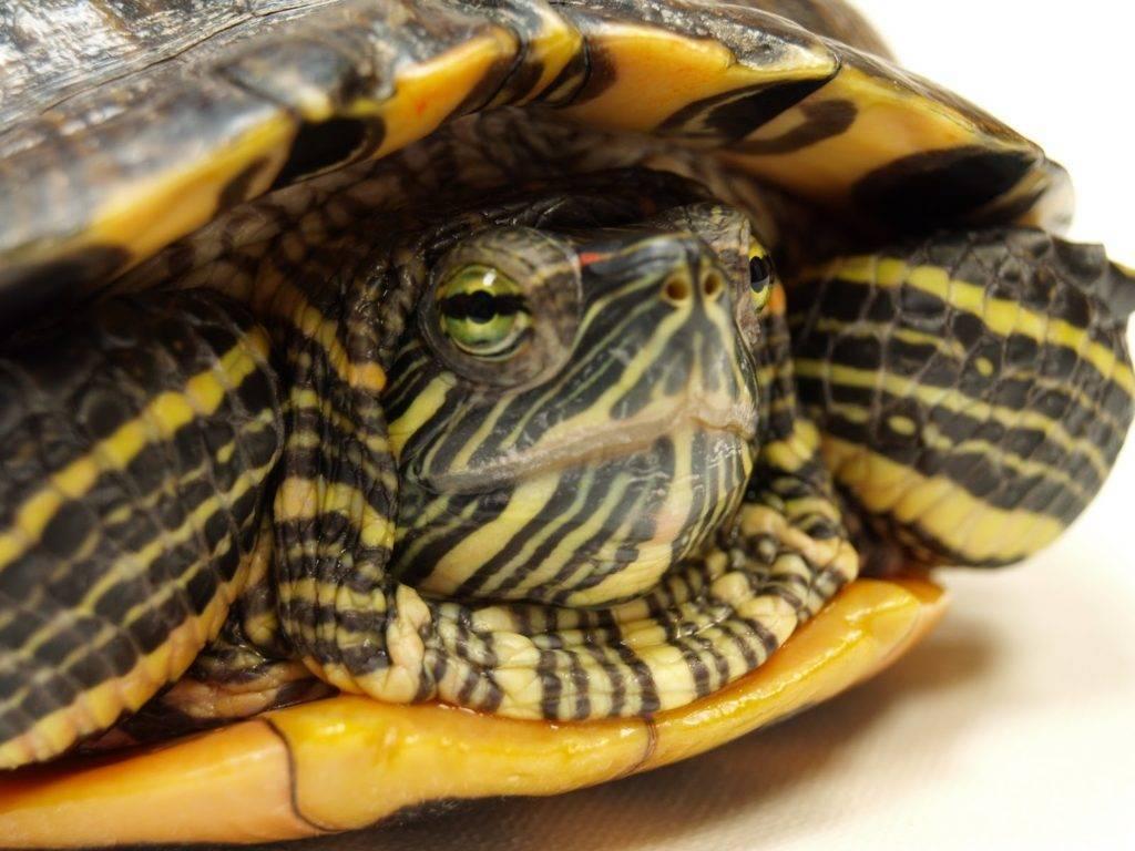 Заболевания красноухих черепах: профилактика,лечение,симптомы