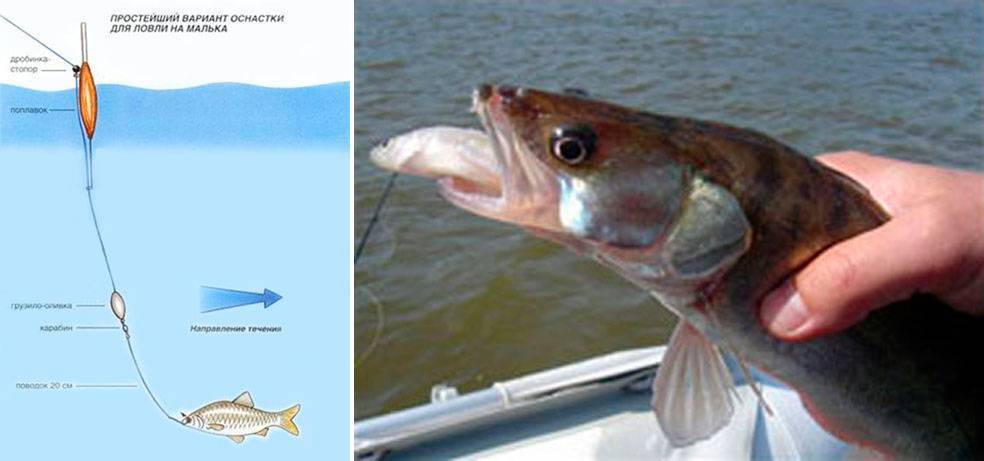 Ловля судака на живца с берега: оснастка при ловле зимой и летом