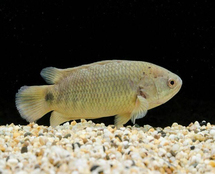 Лабео двухцветный (биколор): правила содержания и ухода, рекомендации по кормлению, требуемой воды для обитания, совместимость с другими рыбками, а также история