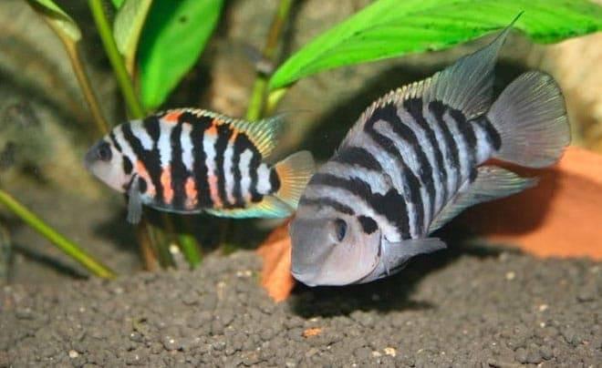 Как размножаются цихлиды в аквариуме