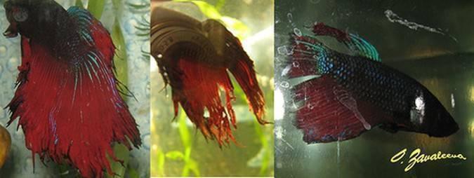 Выживет ли рыбка без хвоста?