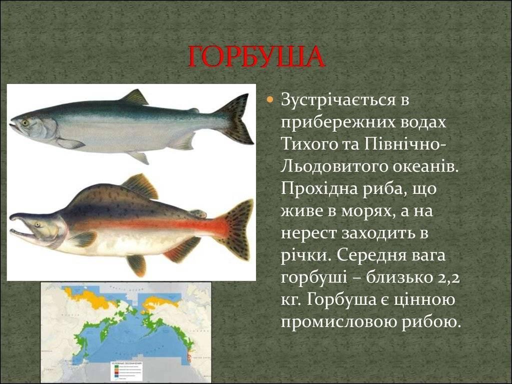 Рыба горбуша: полезные свойства и противопоказания