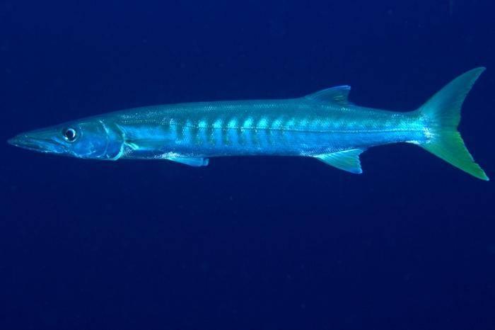 Хищная рыба барракуда: описание и интересные факты