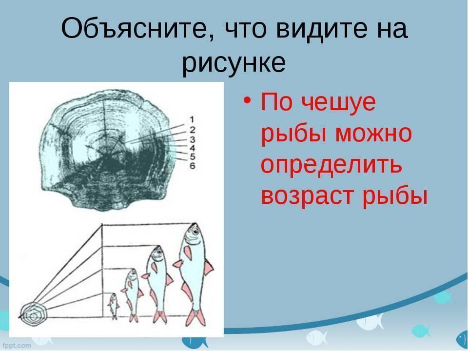 Как можно определить возраст рыбы при помощи исследования чешуи и костей