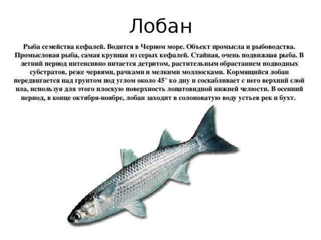 Лобань рыба польза и вред — ловись рыбка