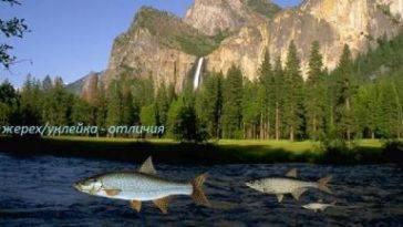 Елец - описание, фото, питание, размеры, ловля ельца, нерест