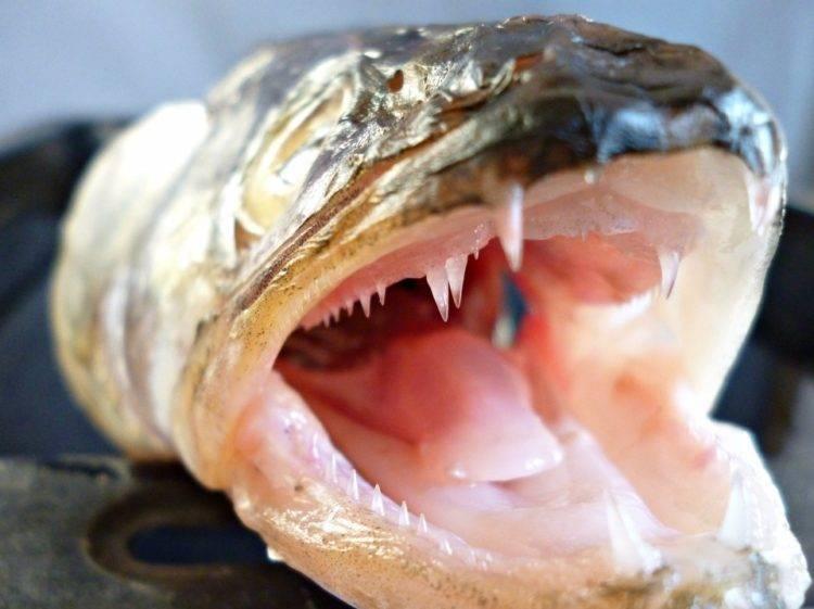 Рыба щука: где обитает, внешний вид, внутреннее строение, виды