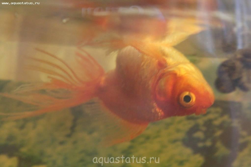 Рыбка телескоп: содержание и уход в домашнем аквариуме