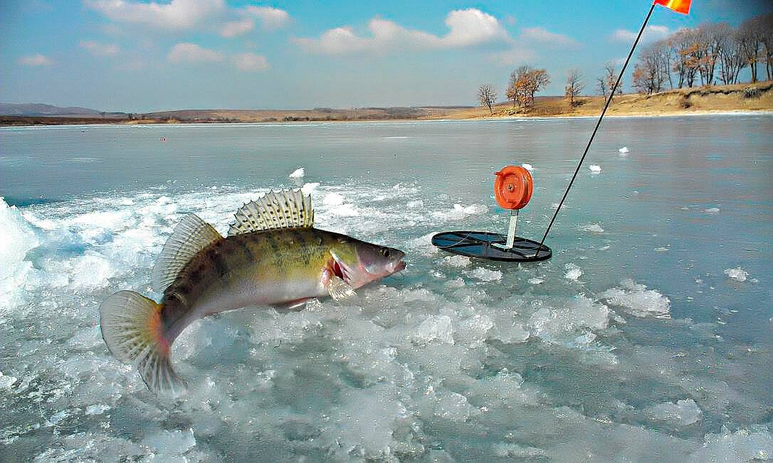 Ловля судака на жерлицы зимой: подготовка снасти и техника ловли