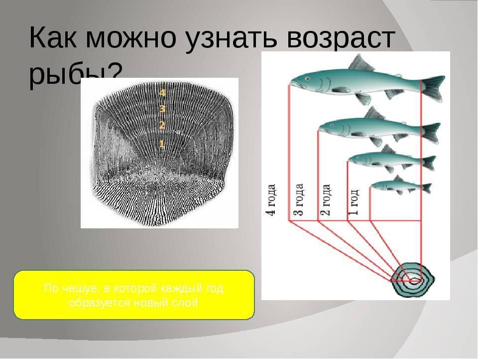 Как определить возраст рыбы: по чешуе и по костям