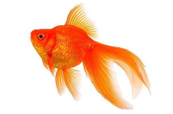 Аквариумная рыбка попугай: содержание и уход
