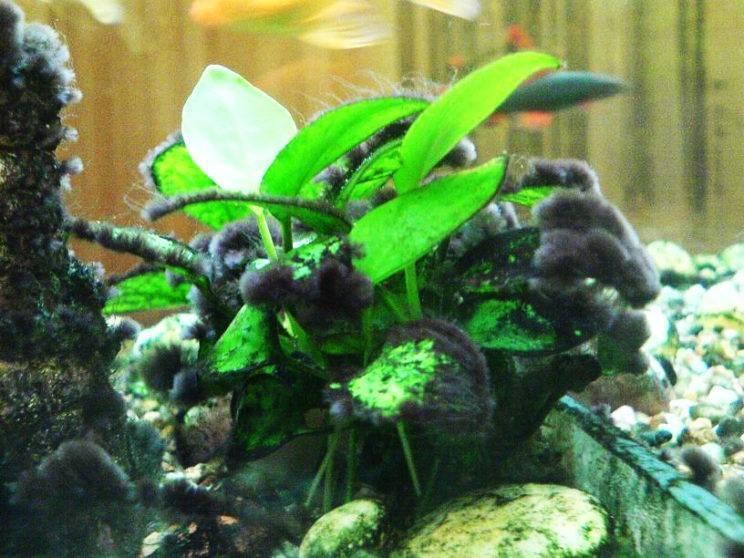 Как избавиться от чёрной бороды в аквариуме?