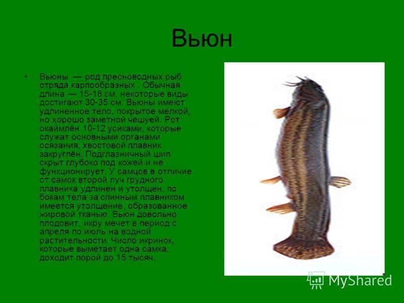 Вьюн: описание, образ жизни и ловля рыбы, фото