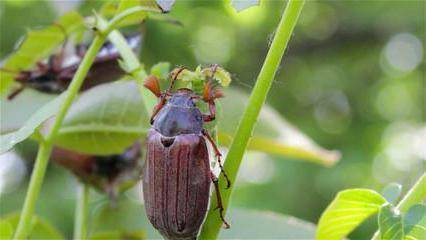 Личинка майского жука (хруща): как бороться с вредителем