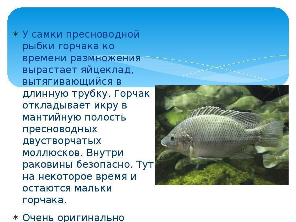 Рыбка горчак (rhodeus amarus)