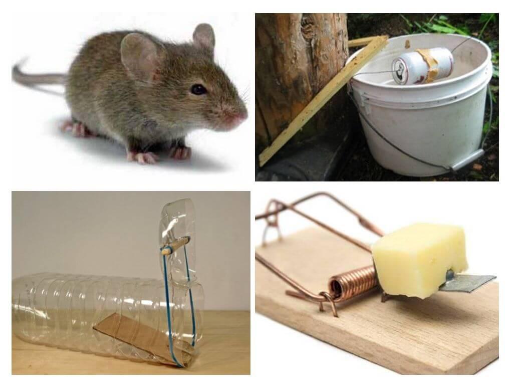 Приманка для мышей - какой продукт положить в мышеловку