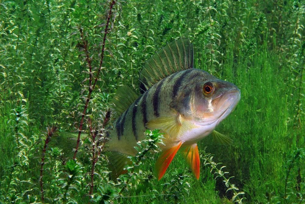 Рыба ёрш: описание, виды, нерест, питание. ловля ерша