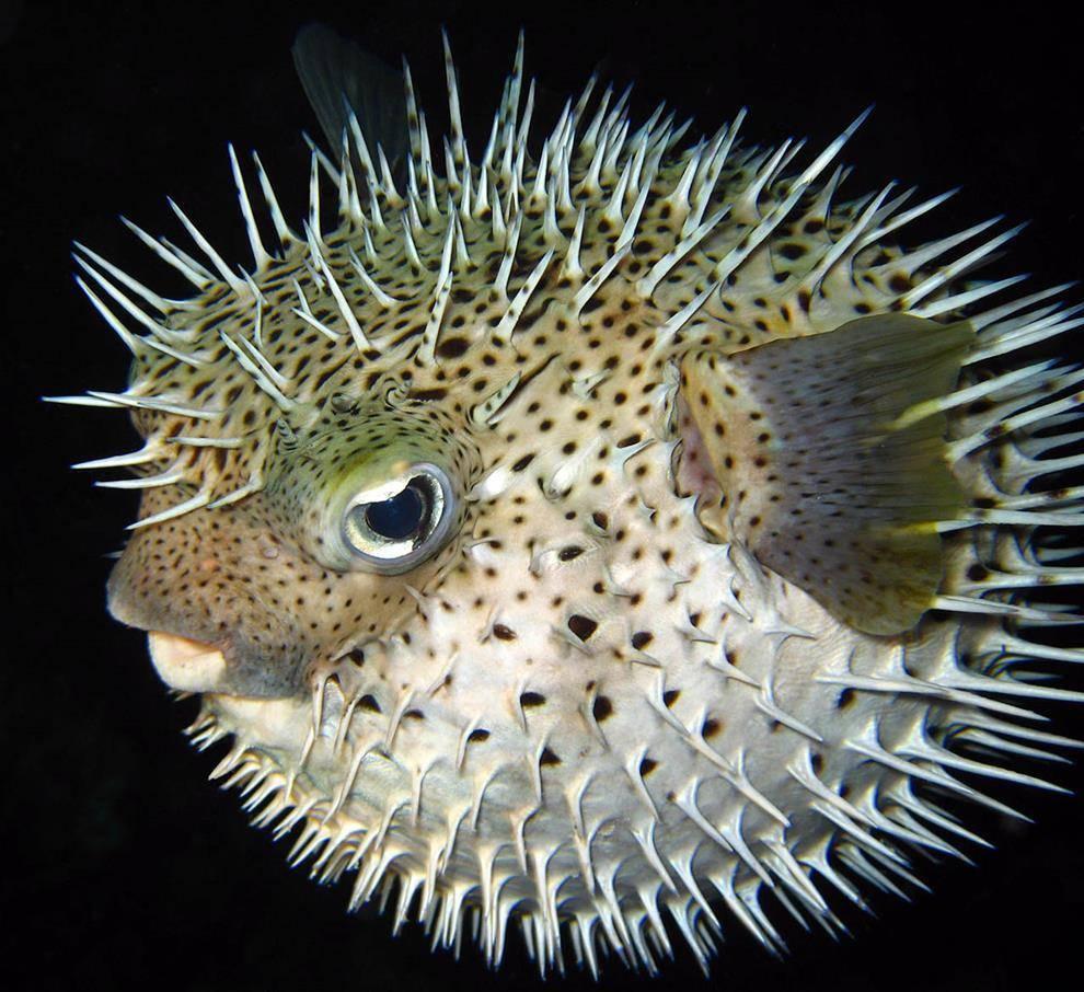 Интересные факты о самой ядовитой, но съедобной рыбе фугу