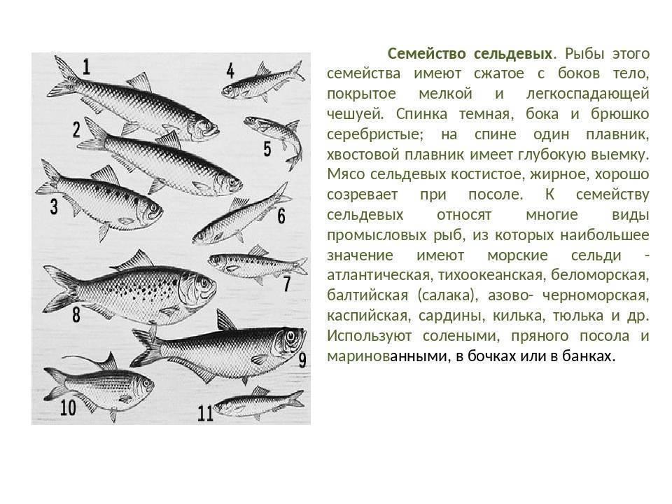 Салака? польза и вред, 12 свойств рыбы для организма, противопоказания