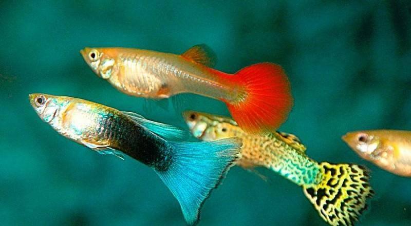 Рыбки гуппи: как размножаются в общем аквариуме, как понять то беременны