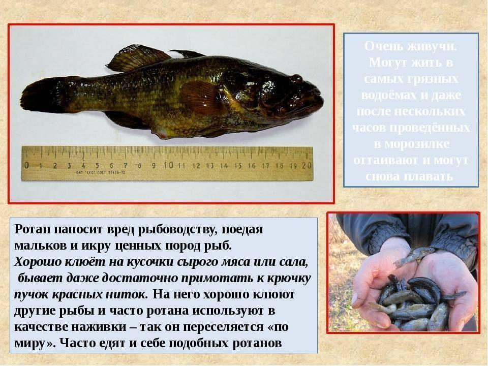 Как приготовить рыбу ротан. рецепты, советы.