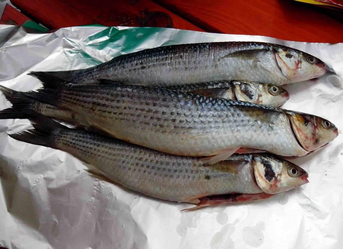 Лобань рыба польза и вред