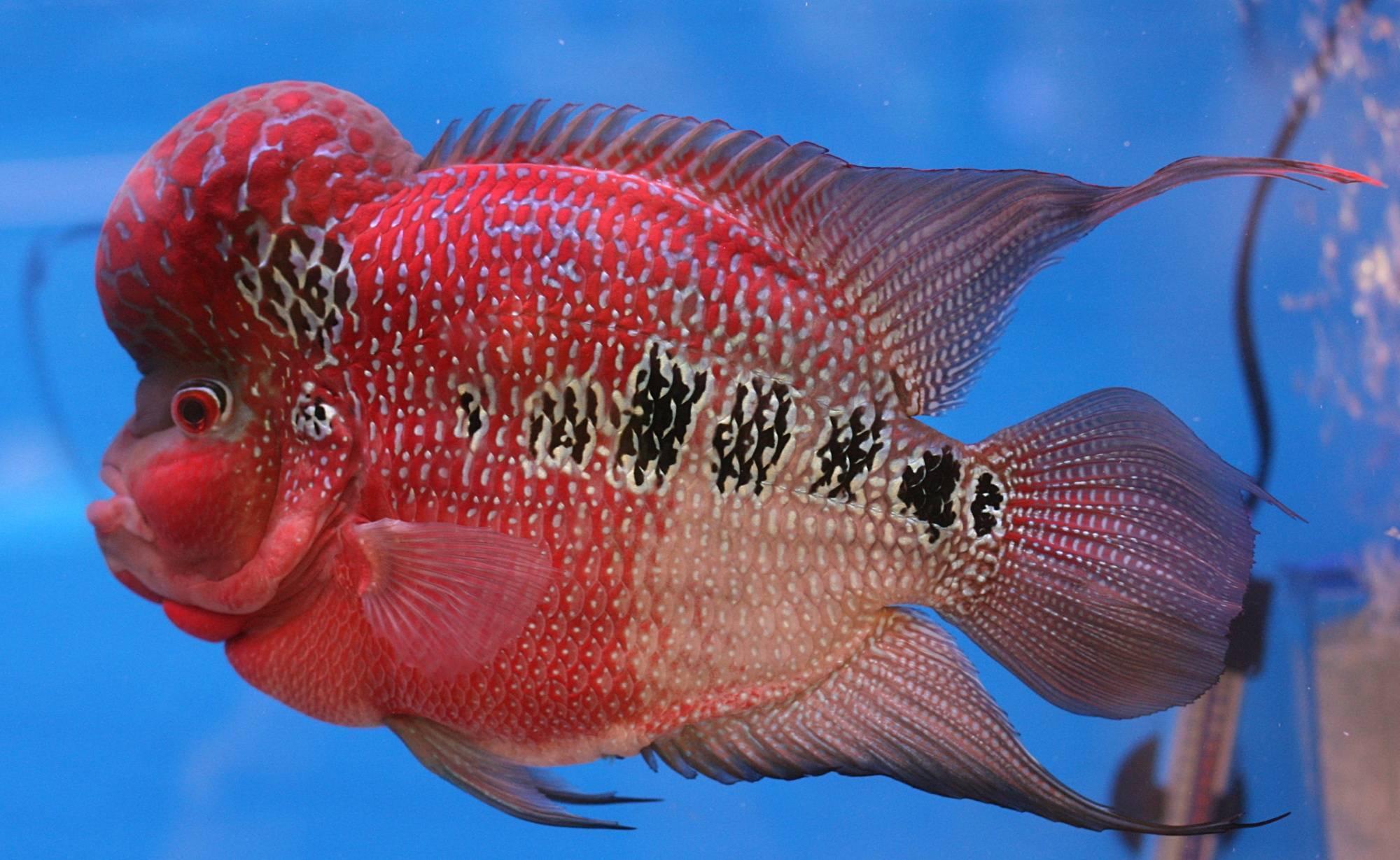 Фловер хорн: содержание, кормление и совместимость рыбки в аквариуме