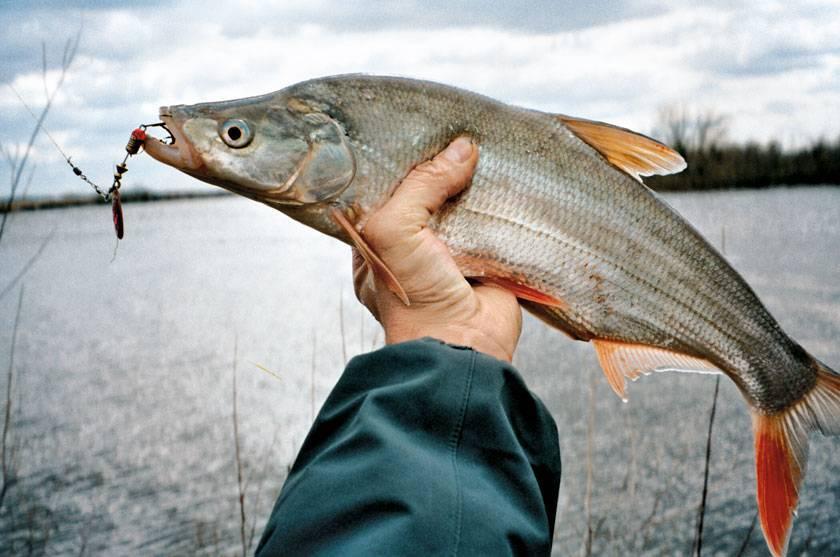 Верхогляд — рыба вкусная! Все о том, как ее приготовить
