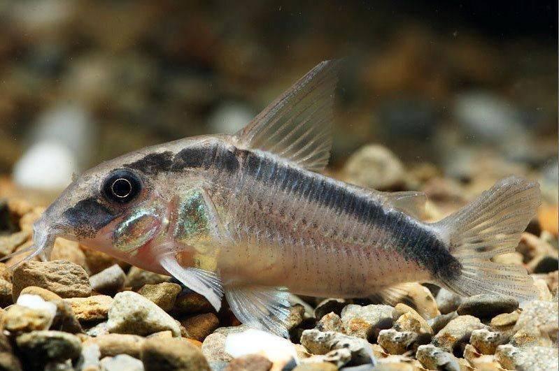 Коридорас: виды, содержание, разведение и размножение, совместимость, кормление, болезни