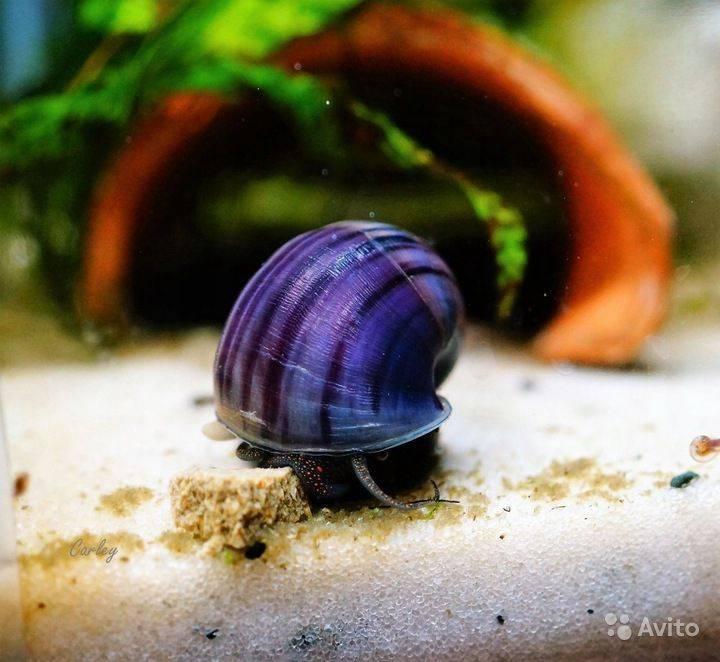 Улитка катушка: общие сведения об аквариумном моллюске, виды, содержание и размножение