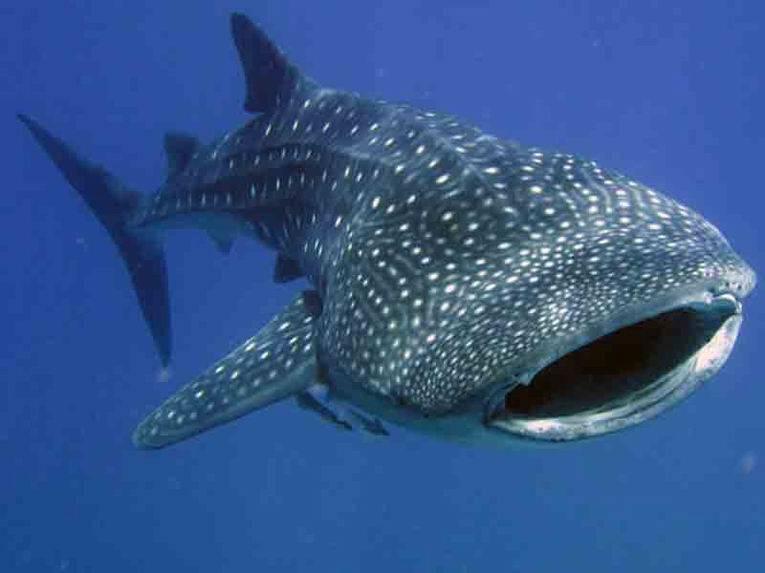 Самая большая рыба в океане