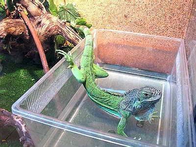 Домашние ящерицы;как правильно ухаживать за рептилией, условия содержания , уход и кормление