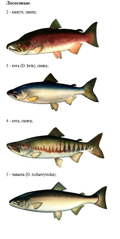 Ареал обитания рыбы кеты и способы любительской ловли