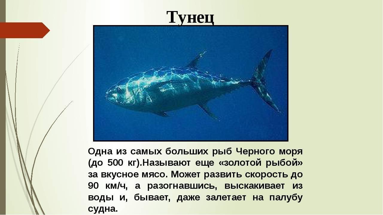 Рыба тунец: описание, виды, польза и вред, рецепт, фото