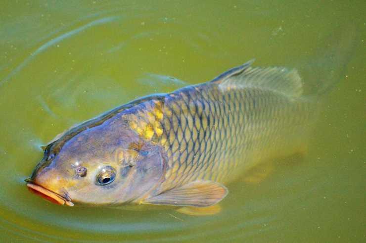 Рыба карп: польза и вред для здоровья организма, фото
