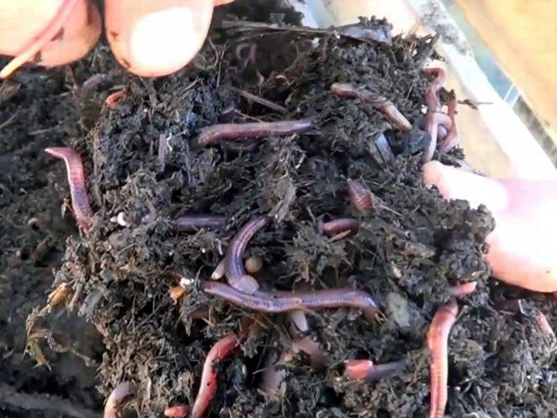 Как разводить червей дома и на даче