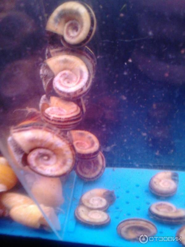 Аквариумная улитка ампулярия — описание моллюска