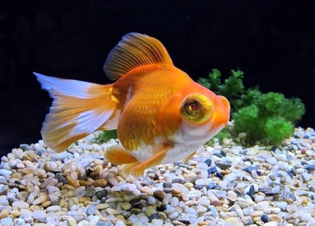Золотые рыбки редкие селекционные породы, фото-видео обзор