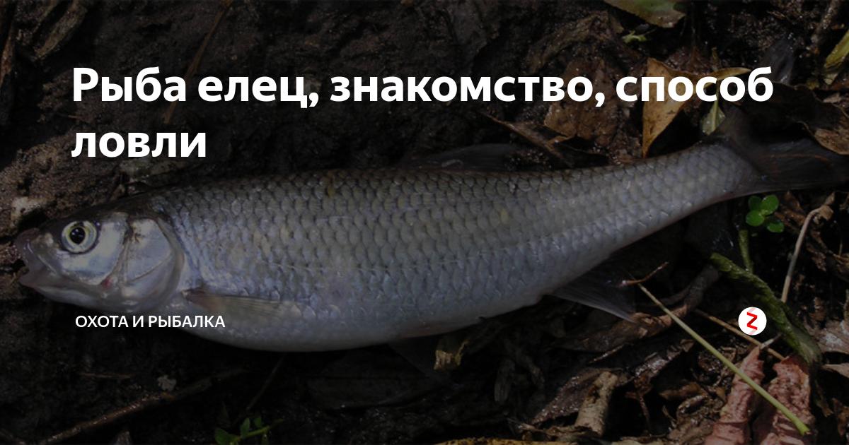 Рыба елец: фото и описание, на что клюет, особенности рыбалки
