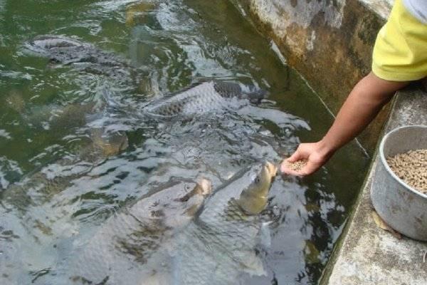 Кормление рыб в вашем пруду — Как сделать своими руками?