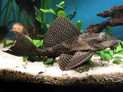 Парчовый сом (птеригоплихт): содержание и уход аквариумной рыбки, совместимость, описание, особенности кормления, про разведение