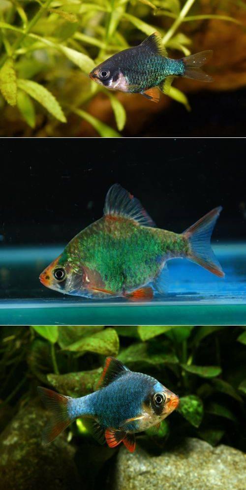 Совместимость суматранского барбуса с другими рыбами: с кем хорошо уживается, а с кем нельзя содержать в одном аквариуме