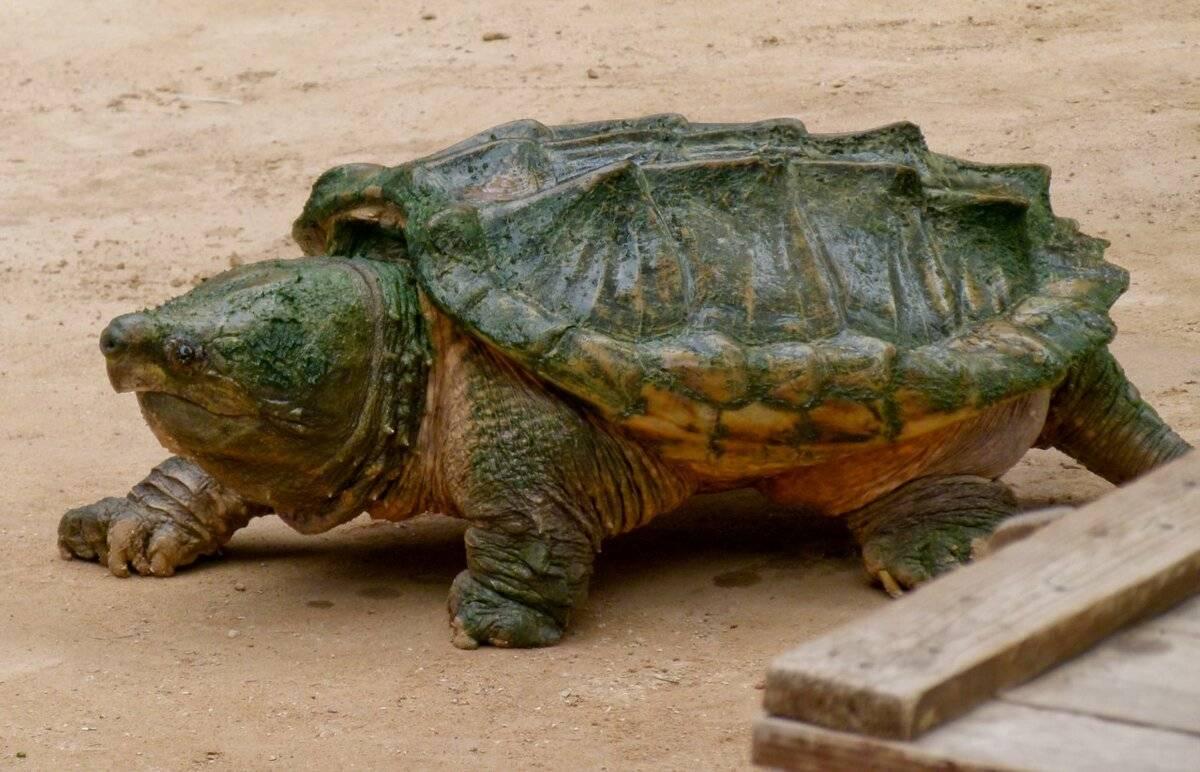 Дальневосточная черепаха – фото, описание, ареал, рацион, враги, популяция