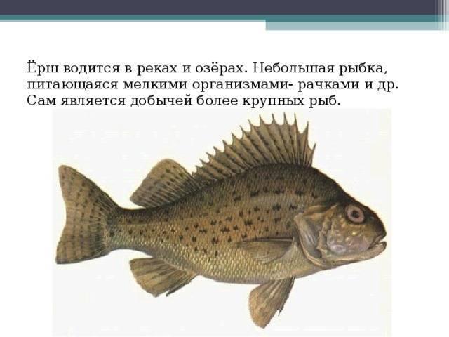 Описание рыбы ёрш
