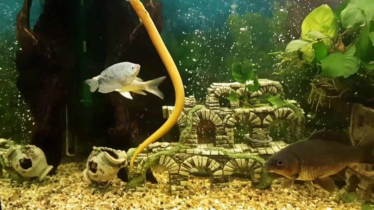Тернеция карамелька: уход и содержание в аквариуме,фото | аквариумные рыбки