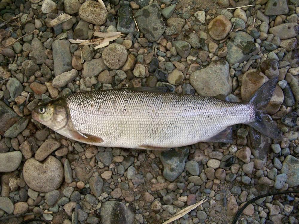 Сиг рыба фото описание