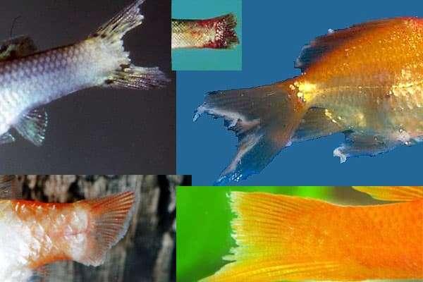 Лечение ихтиофтириоза у аквариумных рыб: лучшие лекарства